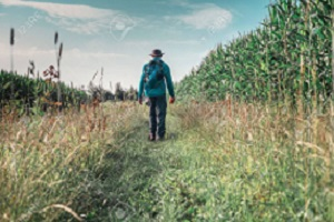 Man with hat and backpack walking along corn field. Rear view.